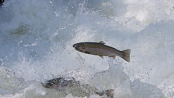 fish_splash--560x315