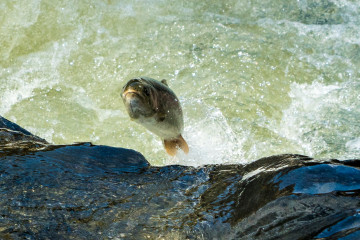 Trout Jumping the Rapids of the Willoughby River int he Spring
