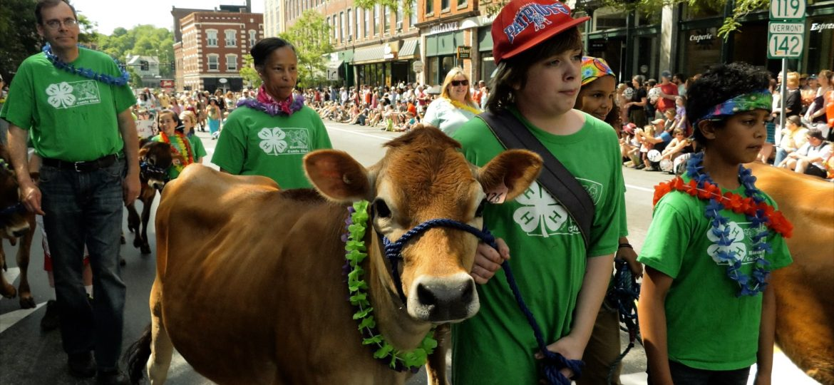 Brattleboro, Vermont's Annual Strolling of the Heifers