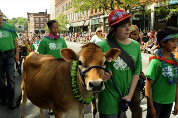 annual parade of the heifers